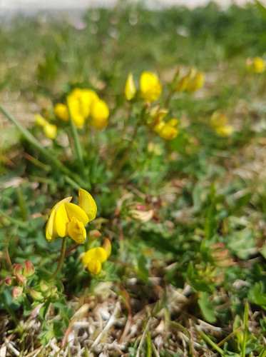 Birds foot trefoil.jpg