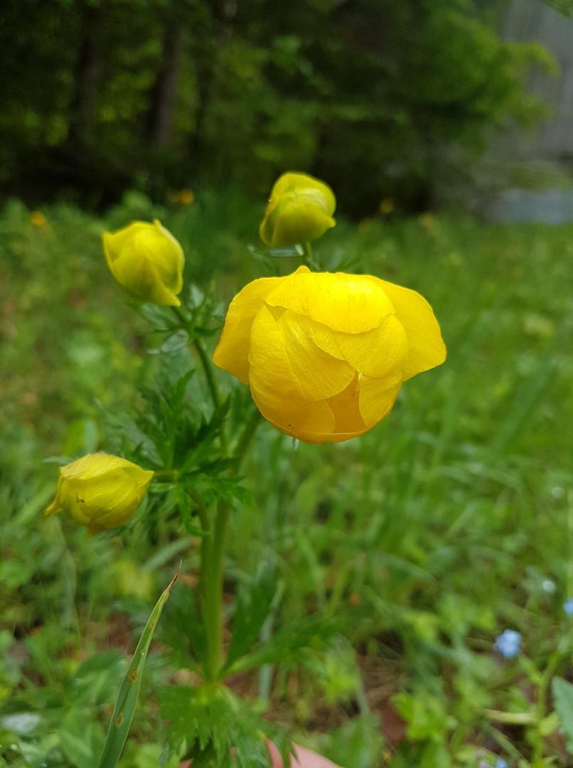 Globe flower.jpg