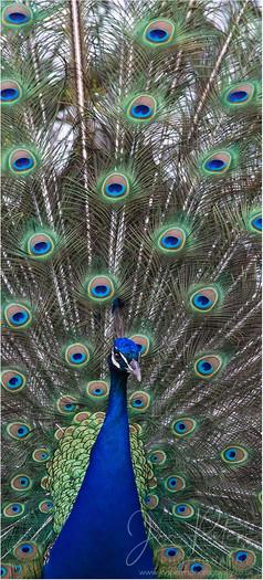 Percy Peacock_1.jpg