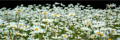 Daisies_web.jpg