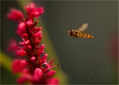 Hover Fly.jpg