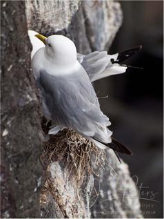 Kittywake Nesting.jpg