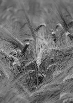 Wheat_2a.jpg