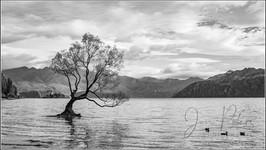 That Tree_Lake Wanaka NZ