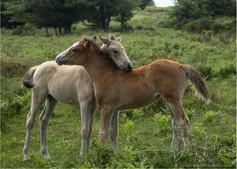 Quantock Ponies_1.jpg