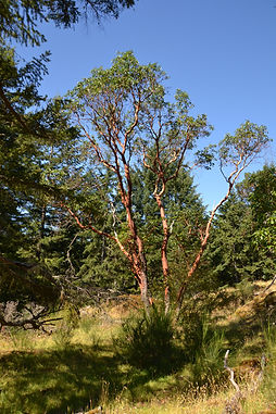 Arbutus at Nanaimo Forest Kids