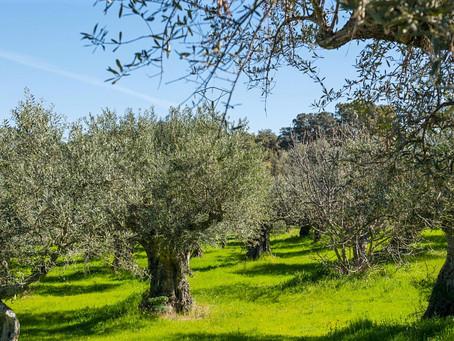 Connaissez-vous les Olives du dernier désert d'Europe?