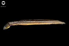 Anguille fumée