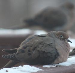 Fat, fluffley dove
