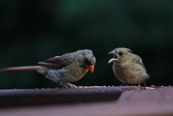 Teenage cardinal whines to mama