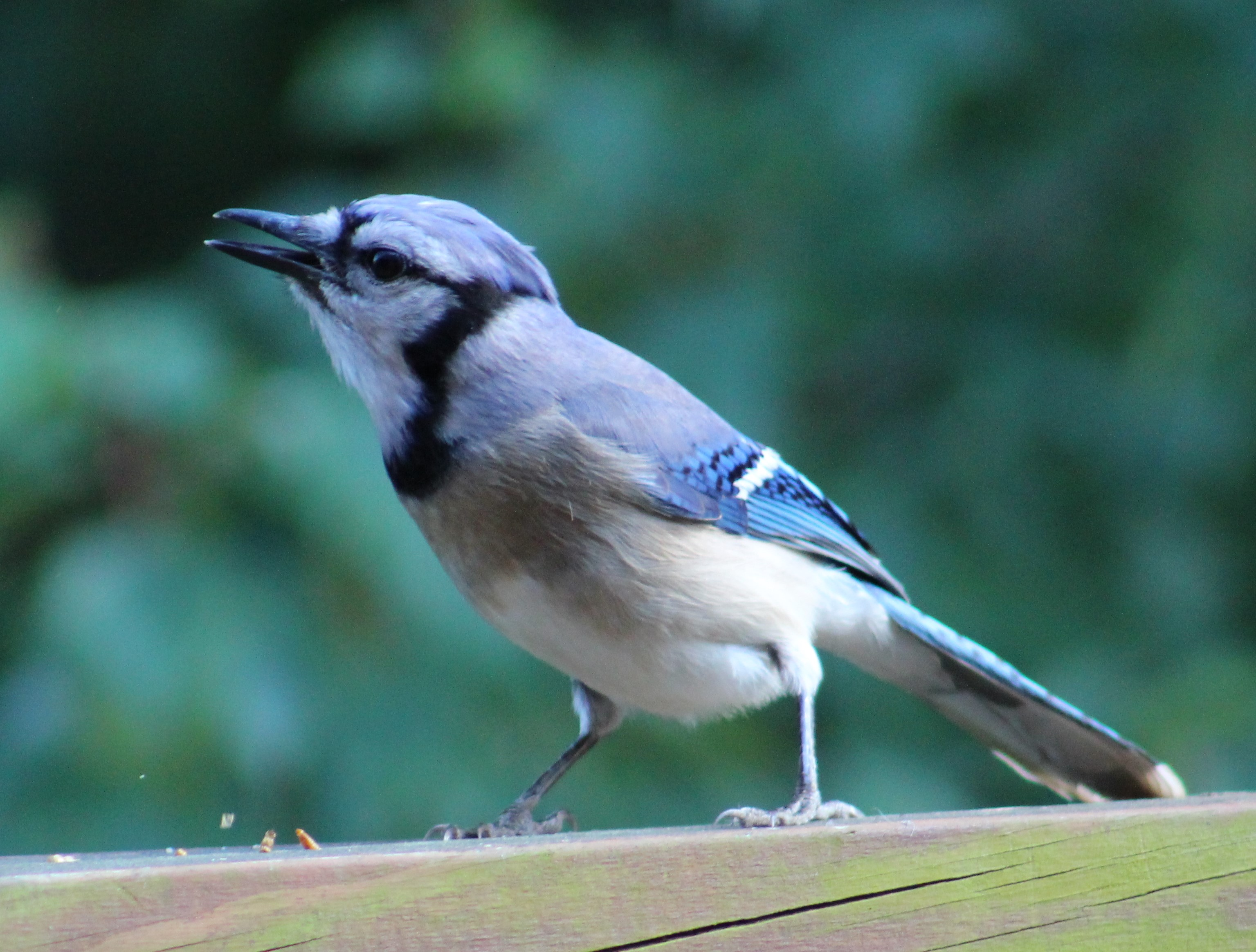 Donald Trump Blue Jay-tweeting