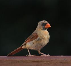 Molting mama cardinal