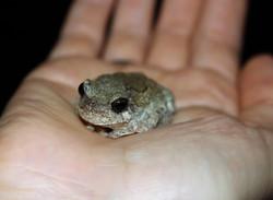 Teeny tiny tree frog