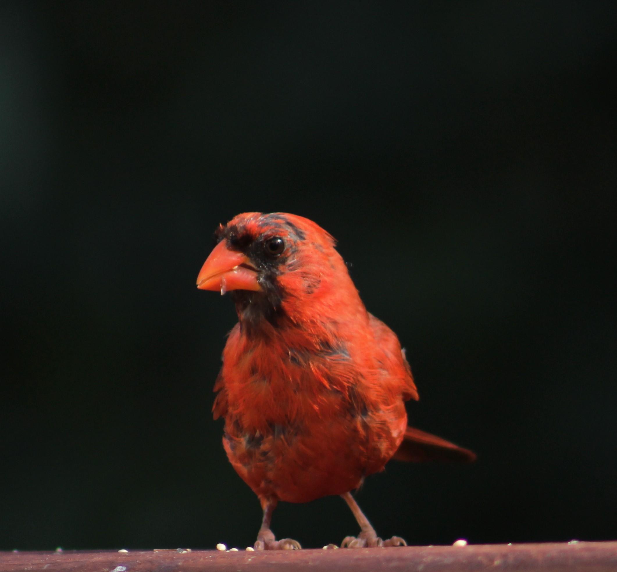 Molting papa cardinal