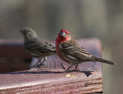 Haughty Housefinches