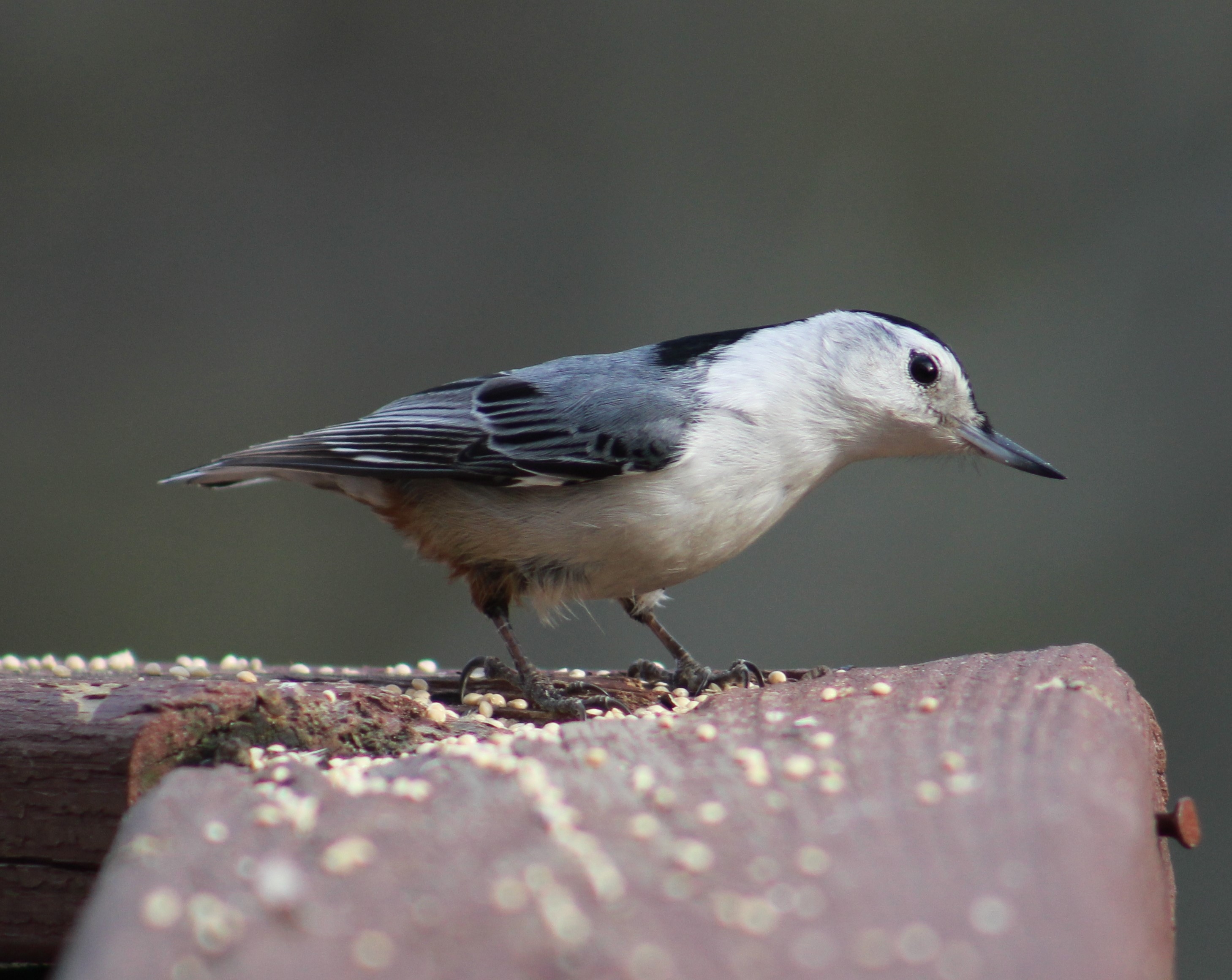 Nut-nut the nutty Nuthatch