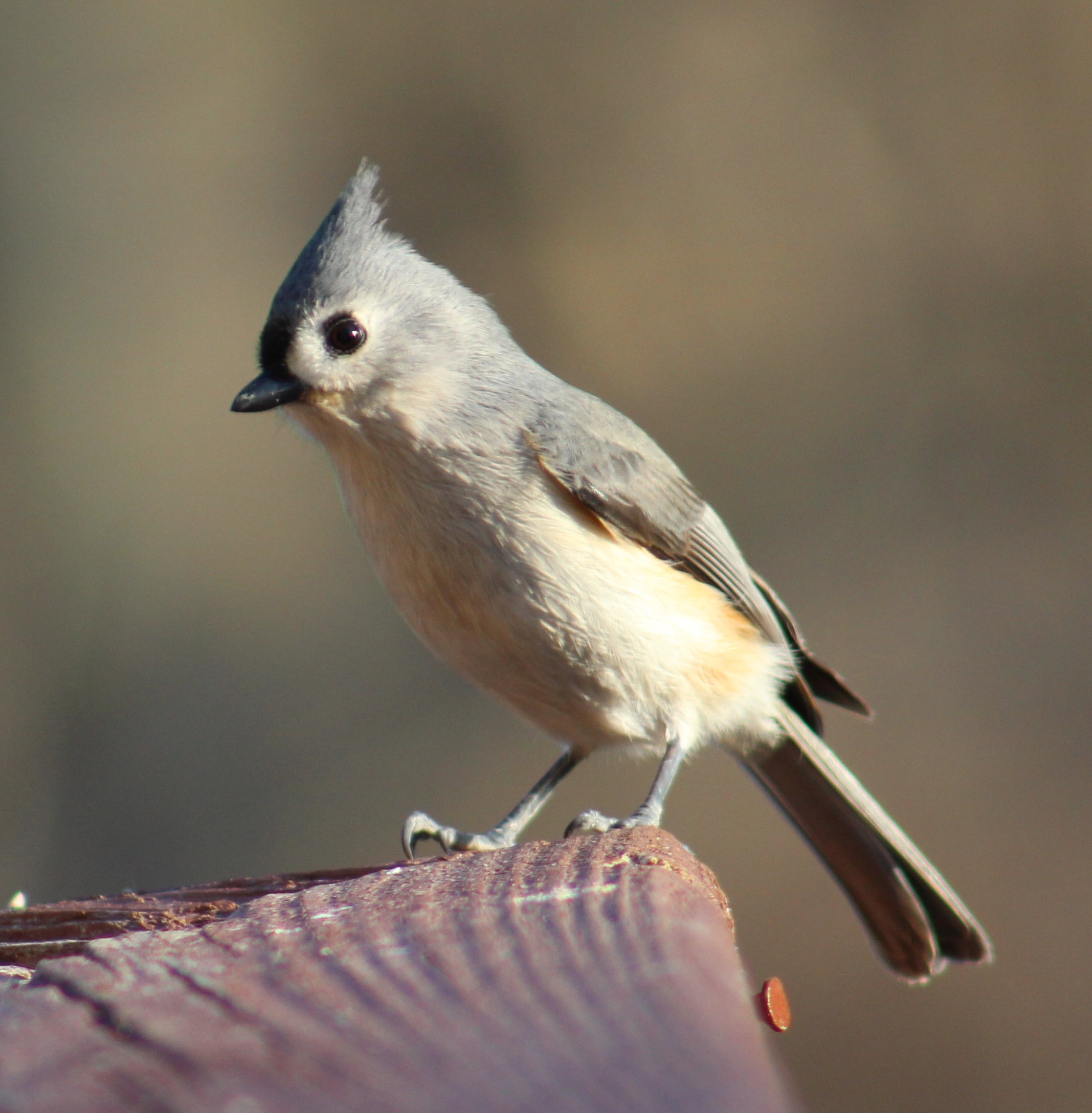 Tuffy is a curious Titmouse