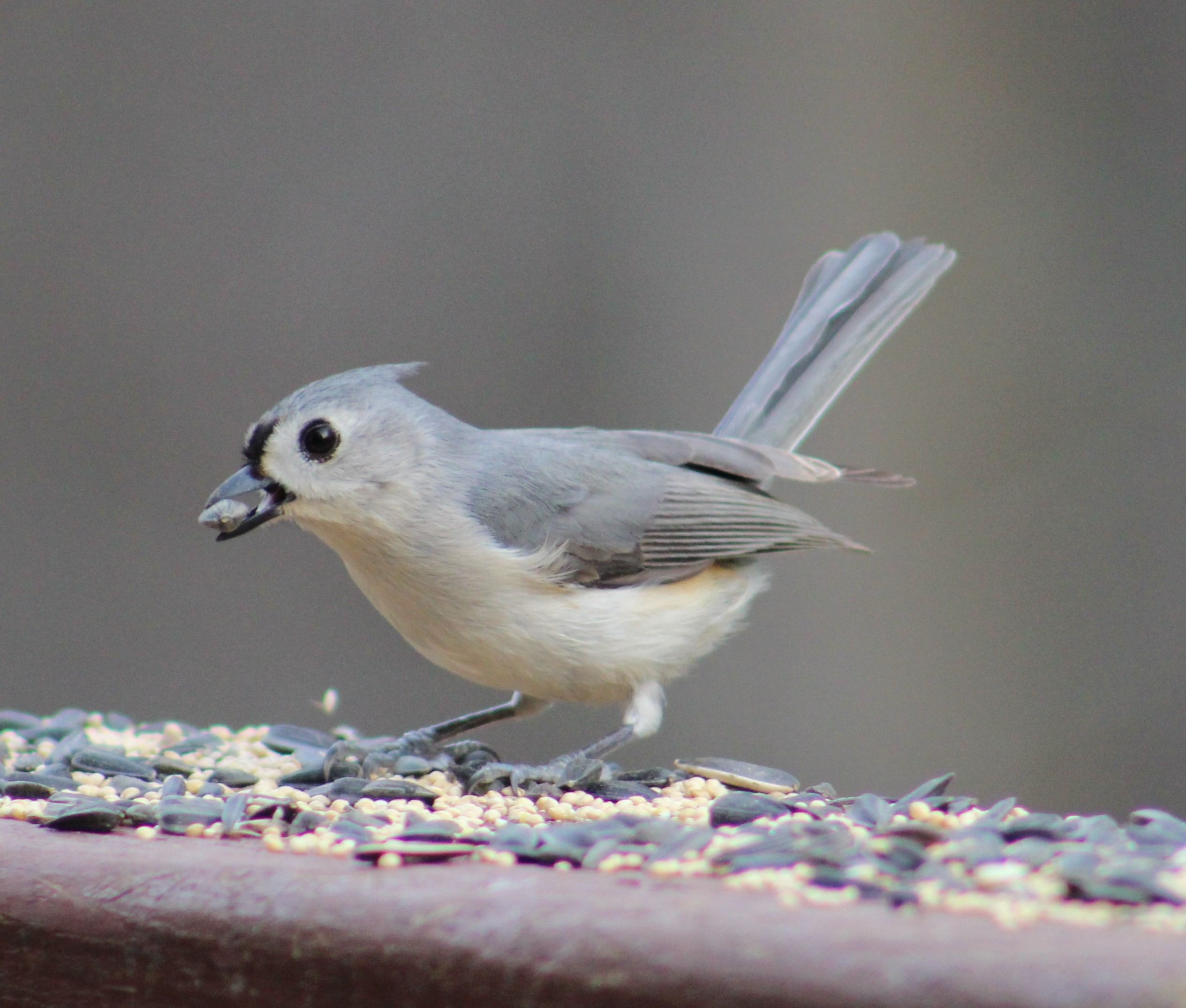 Tuffy the Tufted Titmouse
