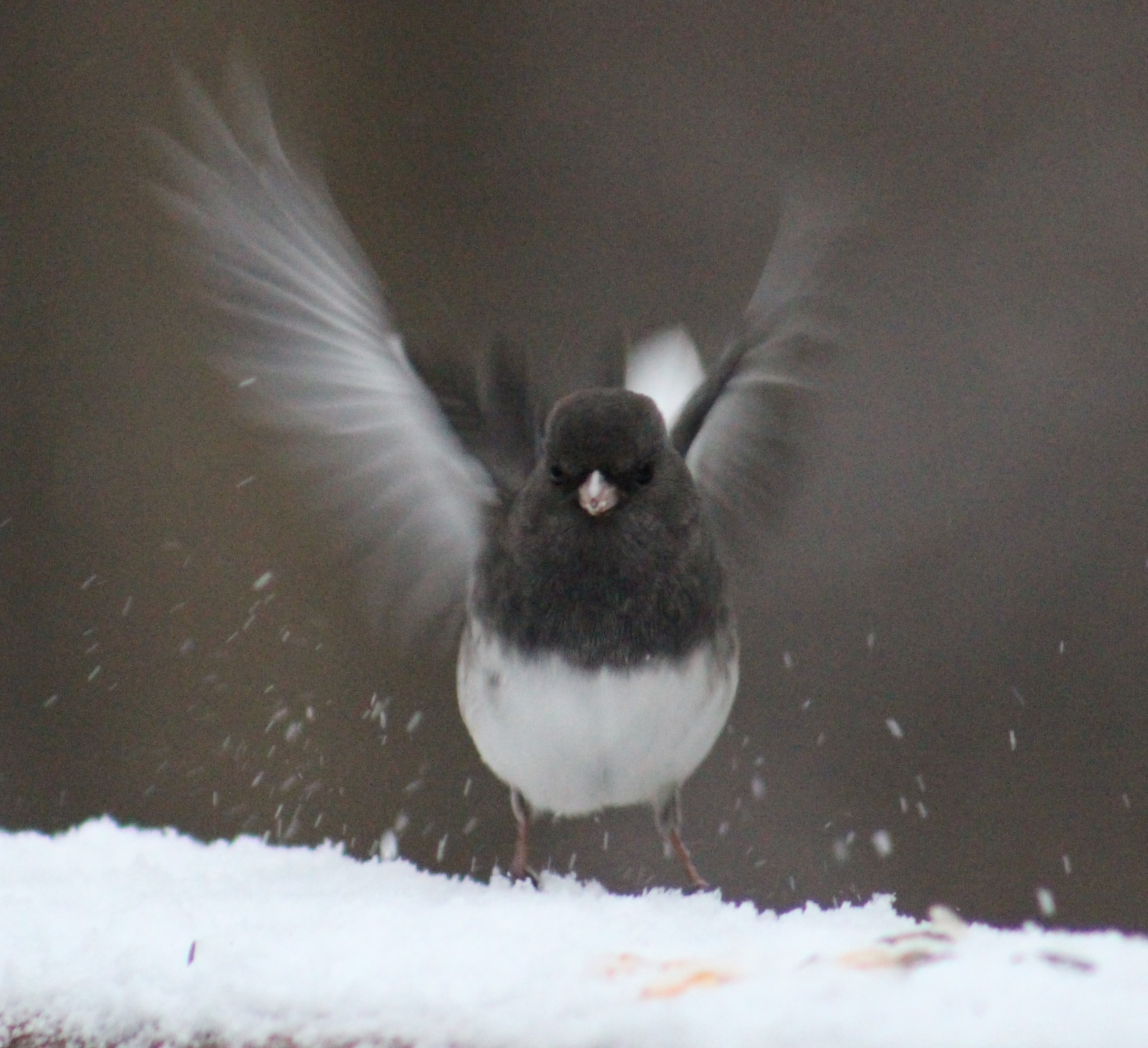 Junco alights on a snowy ledge