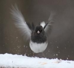 Junco alights on a snowy ledge