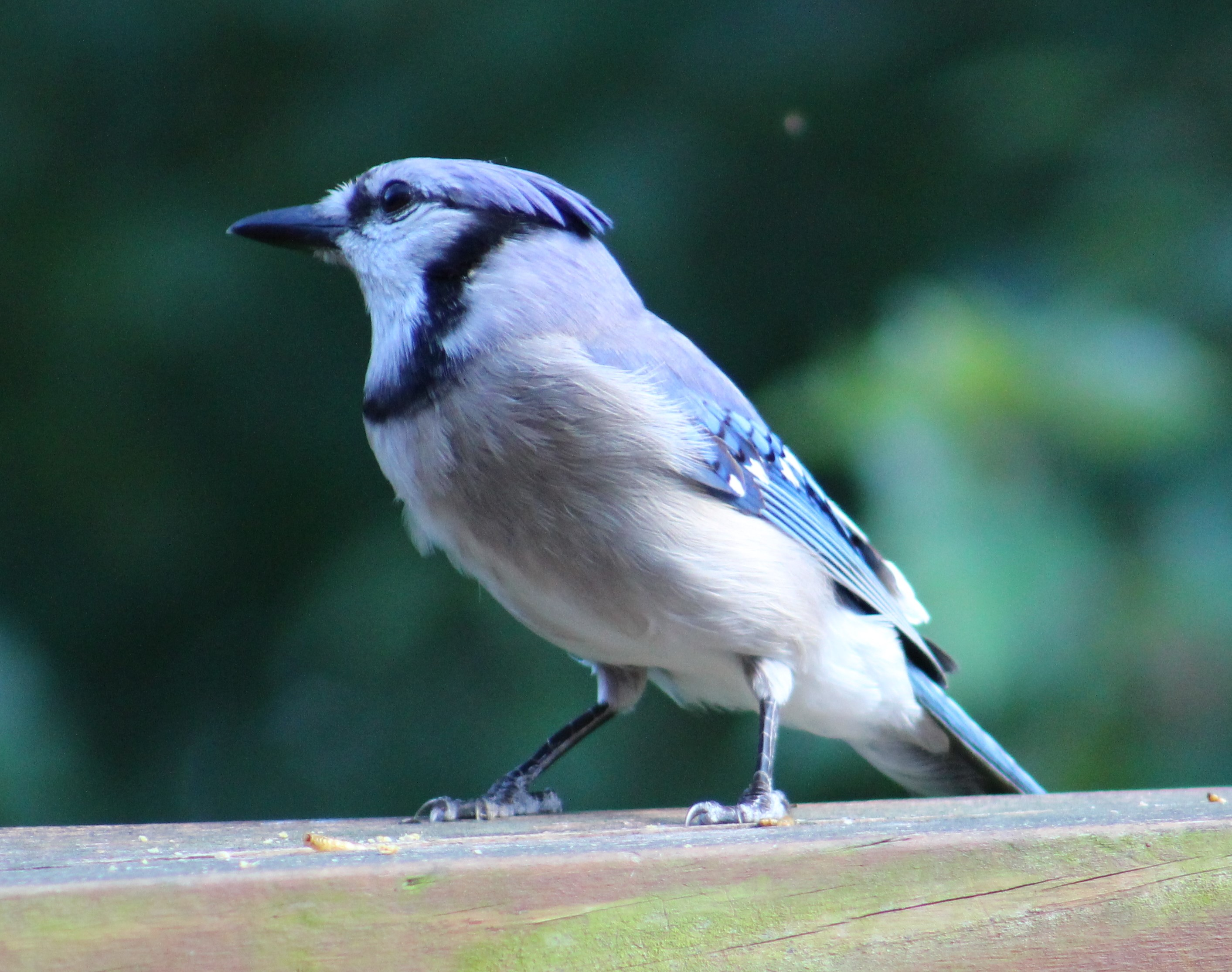 This Blue Jay resembles Donald Trump