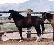 Cerbat_Stallion_(Phoenix).jpg