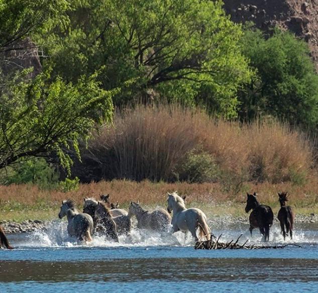 Salt River herd