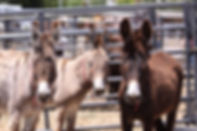 Wild Donkeys (Burros) at a BLM Adoption.