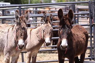 Wild Donkeys (Burros) at a BLM Adoption.