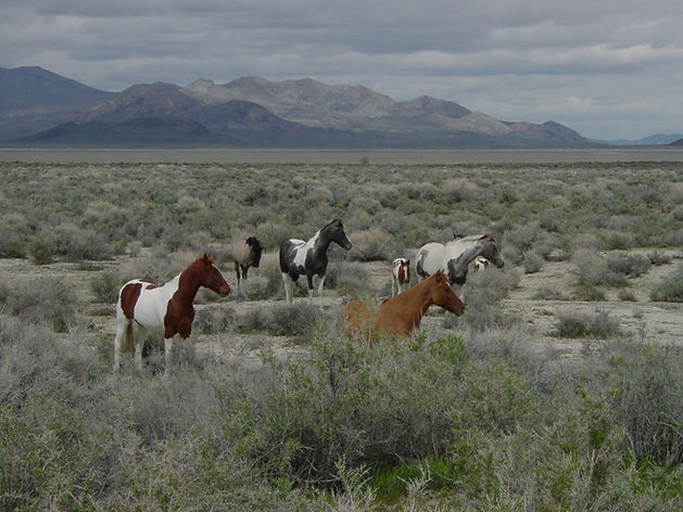 Wild horses at the edge of the Black Rock Desert and Calico Mountains in northwestern Nevada