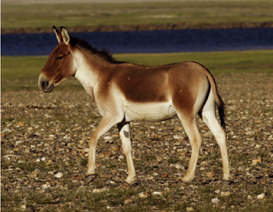 An-adult-male-Equus-kiang-subspecies-kia