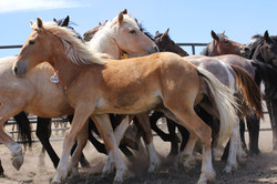 Wild Horse Colts