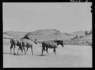 horses on range-crow reservation - maria