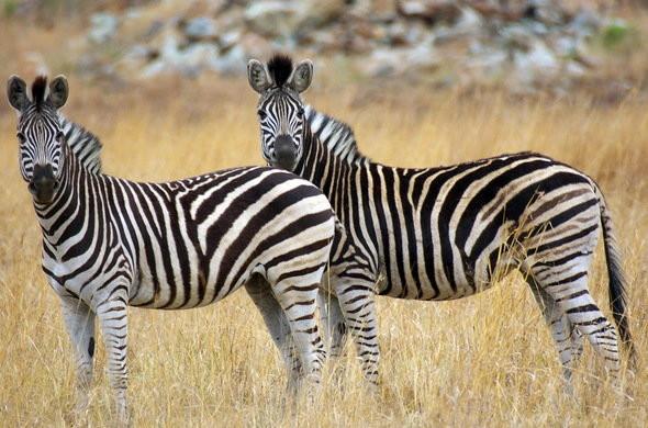 mountain-zebra.jpg