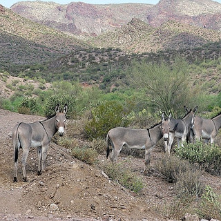 Arizona Burros4.jpg