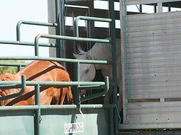 Wild horses arriving at Napa Mustang Days