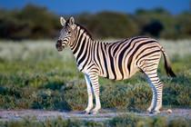 Equus_quagga_burchellii_-_Etosha,_2014.j