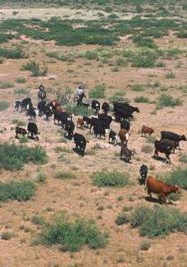 open range cattle drive.jpg