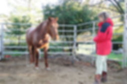 A wild horse starting to relax and trust his adopter