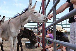A curious wild donkey (burro) checks out some visitors at Napa Mustang Days