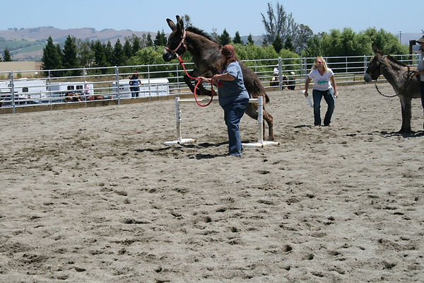 Adopted and traine BLM Burros (wild donkeys) at Napa Mustang Days