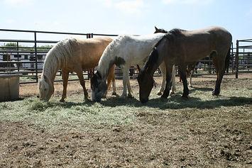 Wild horses at a BLM adoption in Napa, CA