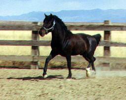Cerbat Stallion
