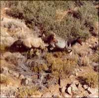 Cerbat Wild Horses