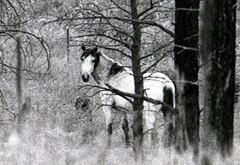 Heber Wild Horse