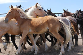 WIld colts at a BLM wild horse adoption
