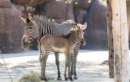 Grevys_zebra_foal_Colton_credit_Kari_R._