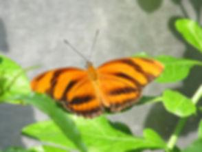banded-orange-butterfly.jpg