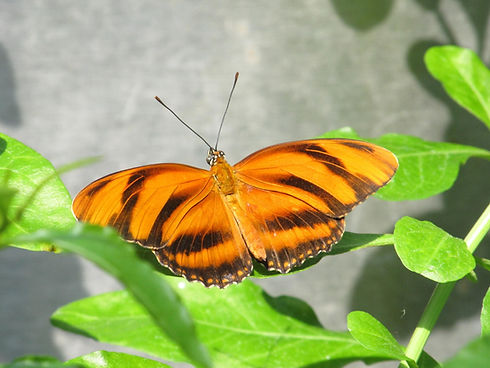 banded-orange-butterfly.jpg
