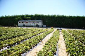 Bus at Taupaki PYO site